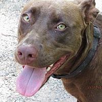 Labrador Retriever/Catahoula Leopard Dog Mix Dog for adoption in Mount Ida, Arkansas - Gracie
