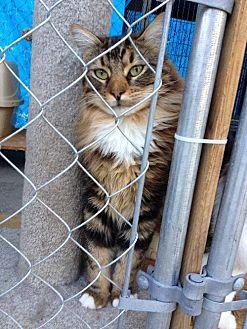 Domestic Longhair Cat for adoption in Santa Clarita, California - Charlie