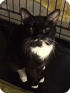 Domestic Shorthair Cat for adoption in Byron Center, Michigan - Barnes