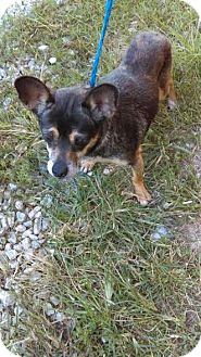 Terrier (Unknown Type, Small)/Chihuahua Mix Dog for adoption in North Brunswick, New Jersey - Chelsea