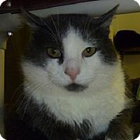 Adopt A Pet :: Cheesy Poof - Hamburg, NY