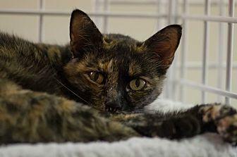 Calico Cat for adoption in Houston, Texas - PAW PAW