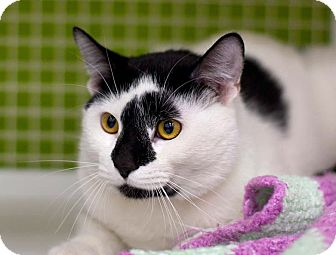 Domestic Shorthair Cat for adoption in Troy, Michigan - Francis