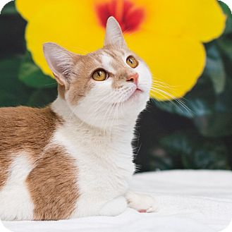 Domestic Shorthair Cat for adoption in Houston, Texas - Alfred