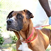 Adopt A Pet :: Bradley - Greensboro, NC