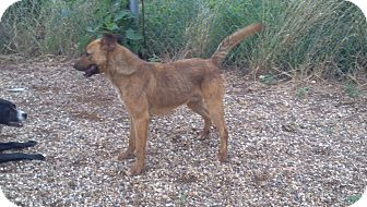 German Shepherd Dog Mix Dog for adoption in Childress, Texas - Brock