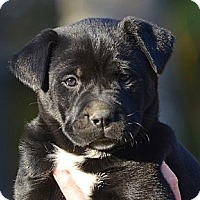 Adopt A Pet :: *Roxy - PENDING - Westport, CT