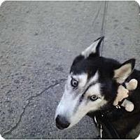Adopt A Pet :: Rockky - Huntington Station, NY
