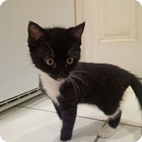 Adopt A Pet :: Meatball - Ft. Lauderdale, FL