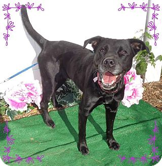 Labrador Retriever Mix Dog for adoption in Marietta, Georgia - STORMIE (R)