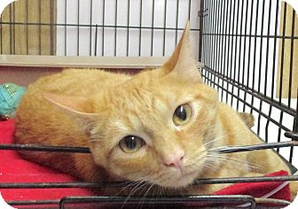 Domestic Shorthair Cat for adoption in Reeds Spring, Missouri - Brian