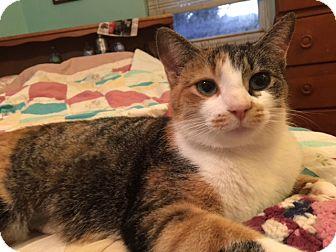 Domestic Shorthair Cat for adoption in Delmont, Pennsylvania - Claudia