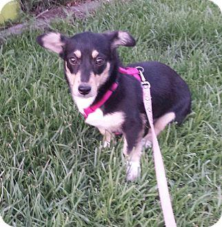 Dachshund/Corgi Mix Dog for adoption in Wilmington, North Carolina - DORA