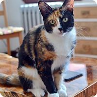 Adopt A Pet :: Callery the Sweet, Fluffy Tortoiseshell - Brooklyn, NY
