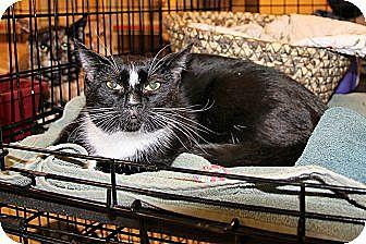 Domestic Shorthair Cat for adoption in Rochester, Minnesota - Fergie
