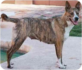 Australian Shepherd/Greyhound Mix Dog for adoption in Gilbert, Arizona - Lucy