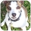 Photo 1 - Jack Russell Terrier Mix Dog for adoption in Phoenix, Arizona - INDY