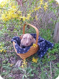 American Pit Bull Terrier Mix Puppy for adoption in Roaring Spring, Pennsylvania - Male # 6