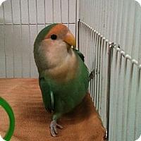 Adopt A Pet :: Bam Bam - Lenexa, KS