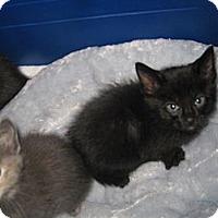 Adopt A Pet :: Vladimir - Dallas, TX