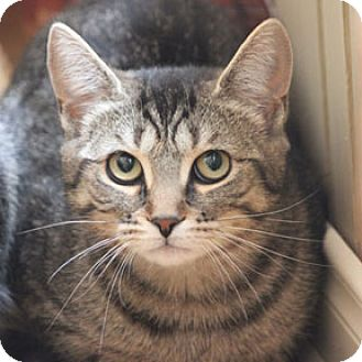 Domestic Shorthair Cat for adoption in Verdun, Quebec - Patsy