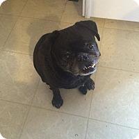 Adopt A Pet :: Pablo Pugcasso - Anaheim, CA