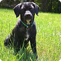Adopt A Pet :: Niko B - Knoxville, TN