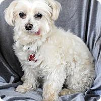 Adopt A Pet :: Angela Puppymill - Encino, CA