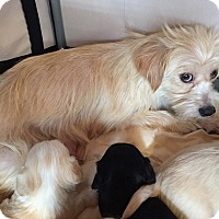 Adopt A Pet :: Windy - Encino, CA