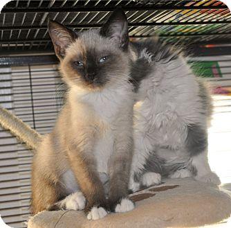 Siamese Kitten for adoption in Anderson, South Carolina - Rhapsody