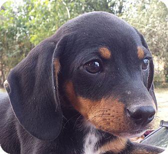 Dachshund Mix Puppy for adoption in Preston, Connecticut - Zach AD 12-03-16