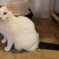 Domestic Shorthair Cat for adoption in Anderson, Indiana - Tommy