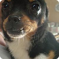 Adopt A Pet :: Scooby - Coleman, TX
