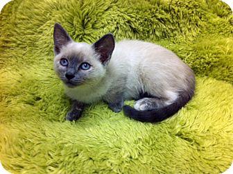Siamese Kitten for adoption in Irvine, California - Daphne