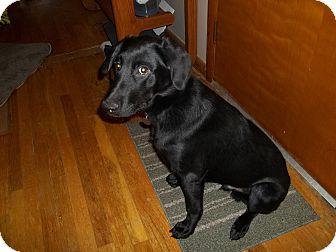 Labrador Retriever/German Shepherd Dog Mix Puppy for adoption in Prole, Iowa - Major