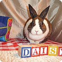 Adopt A Pet :: Daisey - Newport, DE