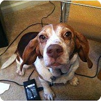 Adopt A Pet :: Miss Betty Beagle - Indianapolis, IN