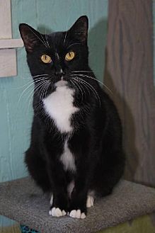 Domestic Shorthair Cat for adoption in Iroquois, Illinois - Jem