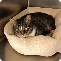Adopt A Pet :: Smurf - Colmar, PA