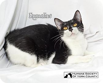 Domestic Shorthair Cat for adoption in Fort Mill, South Carolina - Emmaline 5585
