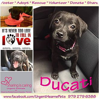 Terrier (Unknown Type, Small) Mix Puppy for adoption in Hearne, Texas - Ducati