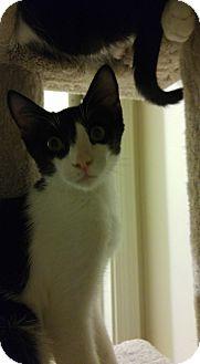 Domestic Shorthair Kitten for adoption in Tucson, Arizona - Checkers