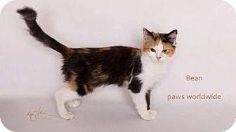 Siberian Kitten for adoption in Corona, California - BEAN