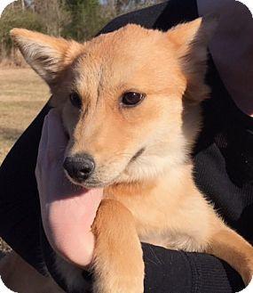 Collie/Shepherd (Unknown Type) Mix Puppy for adoption in Jefferson, Texas - Foxy