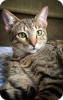 Domestic Shorthair Cat for adoption in Arlington/Ft Worth, Texas - Ranger