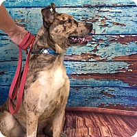 Adopt A Pet :: CHIEF - Hibbing, MN