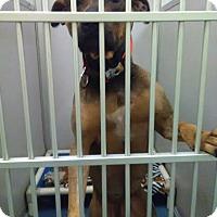 Pit Bull Terrier Mix Dog for adoption in Jupiter, Florida - Smokey