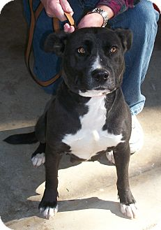 Pit Bull Terrier/Terrier (Unknown Type, Medium) Mix Dog for adoption in Lincolnton, North Carolina - Blackie