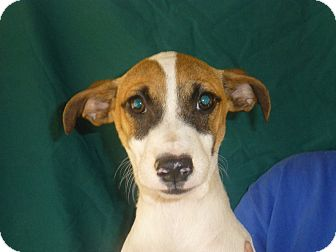 Beagle/Rat Terrier Mix Puppy for adoption in Oviedo, Florida - Conner