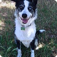 Adopt A Pet :: Cruz - Petaluma, CA